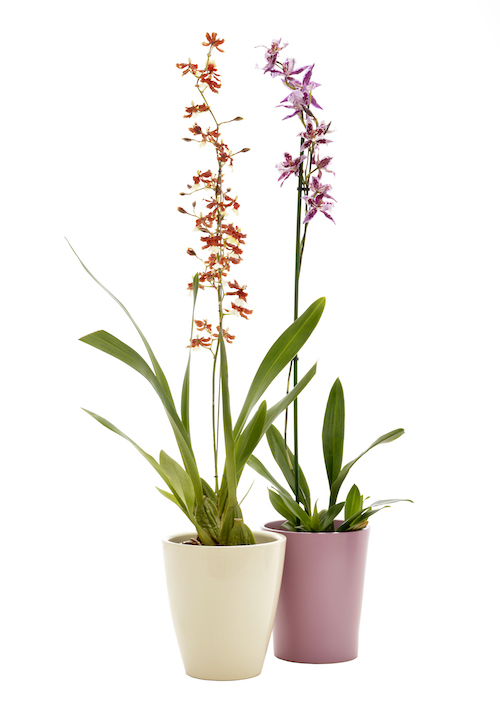 Caring For Your Orchids With Lifestyle Home Garden Cliffcentral