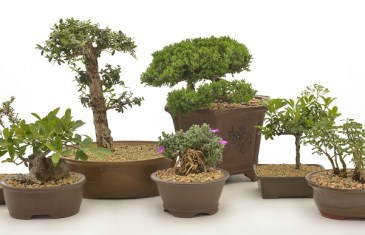 Bonsai trees with Lifestyle Home Garden