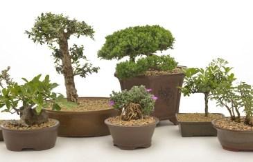 Bonsai trees with Lifestyle Home Garden
