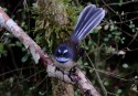 Well the moss is in the background but the fantail did offer an unusually long pose