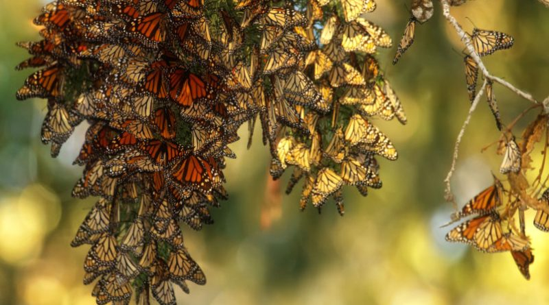 Monarch butterfly population declines