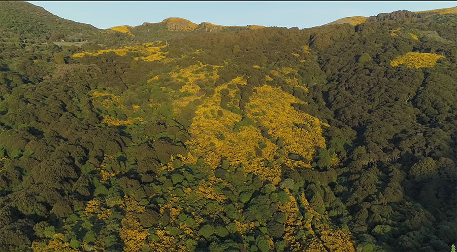 Fig. 2: Gorse (distinctive yellow flowers) is serving as a nursery plant for native forest regeneration. (Image: Happen Films)