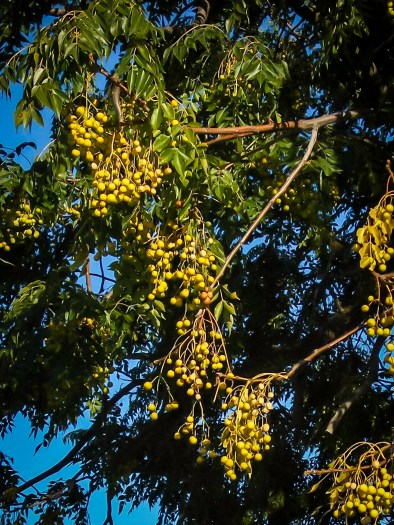 Yellow berries on a White Cedar in May.