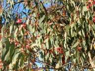 Photo of blossoms on a gum tree