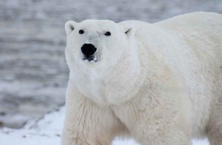 No signs of a climate emergency for W. Hudson Bay polar bears this year ahead of UN climate meeting