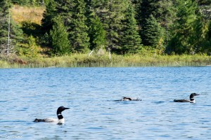 Loons on Sargent Lake.