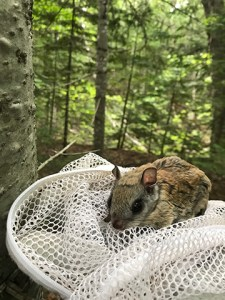 Photo of Northern flying squirrel.