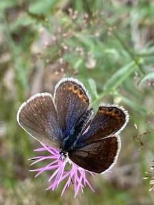 Karner Blue butterfly.
