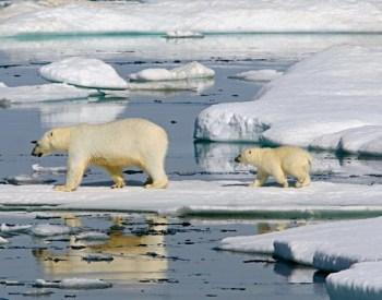 arctic-polar-bears