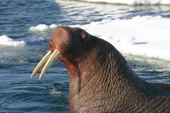 pacific walrus pixabay
