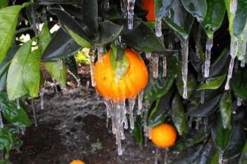 orange tree frozen