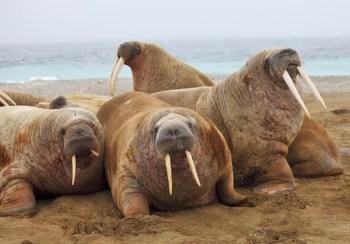 walruses coast