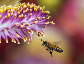 honeybee flower closeup