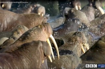 falling walrus doc