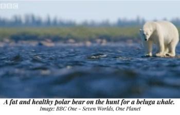 polar bear beluga whale
