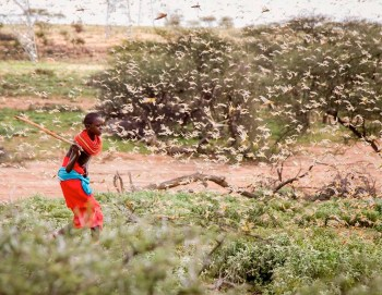 african desert locust