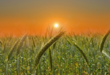 cereal crops
