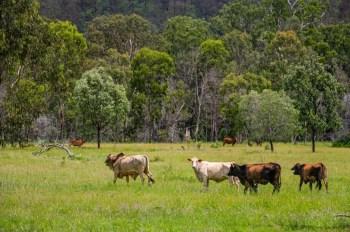 cows grazing tall grass