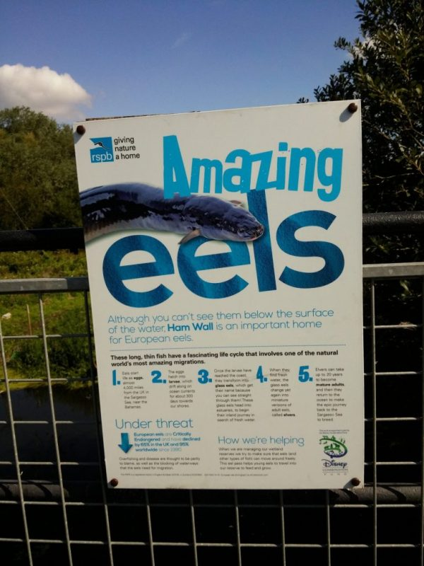 """Amazing eels - best not served in aspic"", Avalon Marshes, Somerset. Photograph by Mark Goldthorpe"