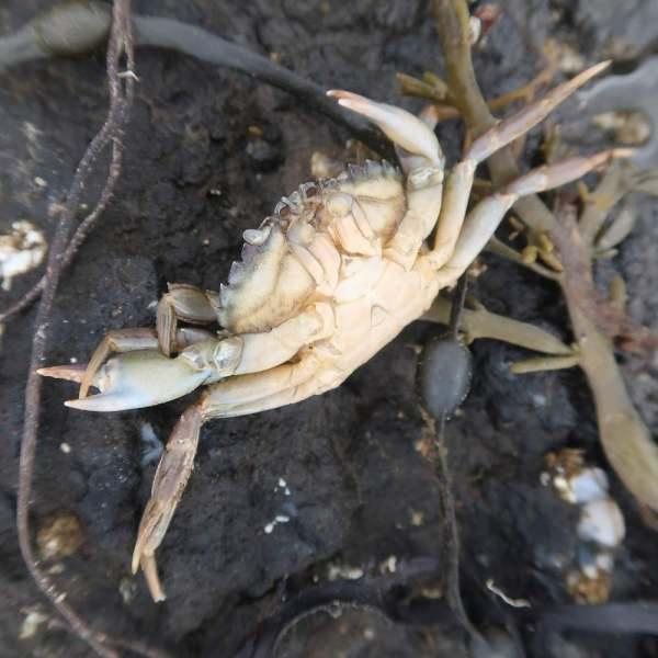 Dead crabs on Ulva