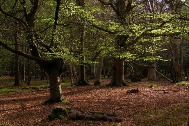 Photograph showing beech trees in the New Forest