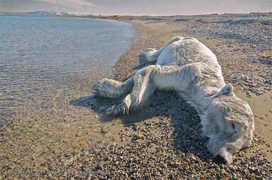 dead-polar-bear560
