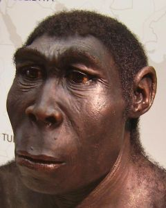 A reconstruction of Homo Erectus