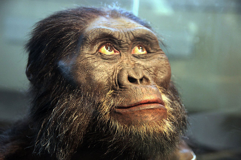 800px-Australopithecus_afarensis_adult_male_-_head_model_-_Smithsonian_Museum_of_Natural_History_-_2012-05-17