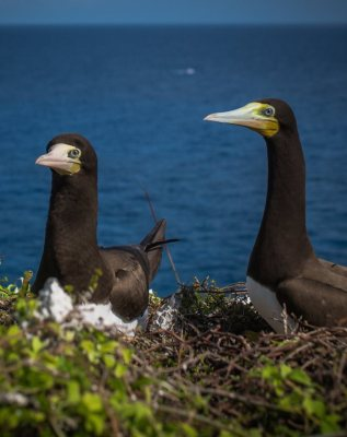 Cayman Brac Brown Booby
