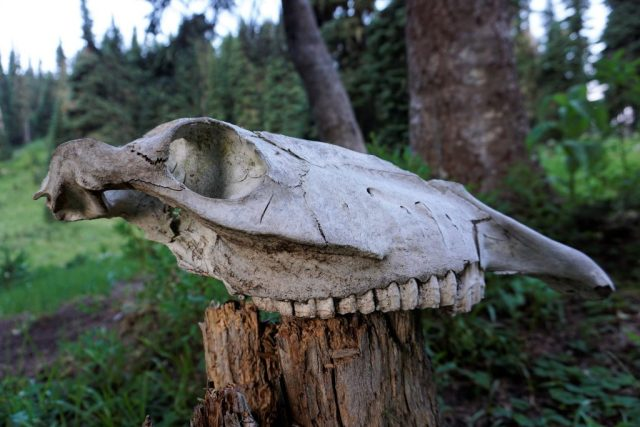Buck Skeleton
