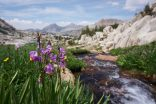 Silver Divide Flowers