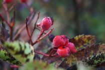 Icy berries, signs of a cold night.