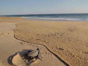 Meeresschildkröten am Playa Bacochoo