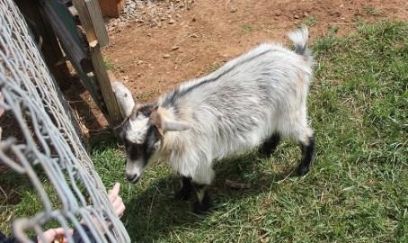 04-19-2018 Zach Addington's pygmy goat