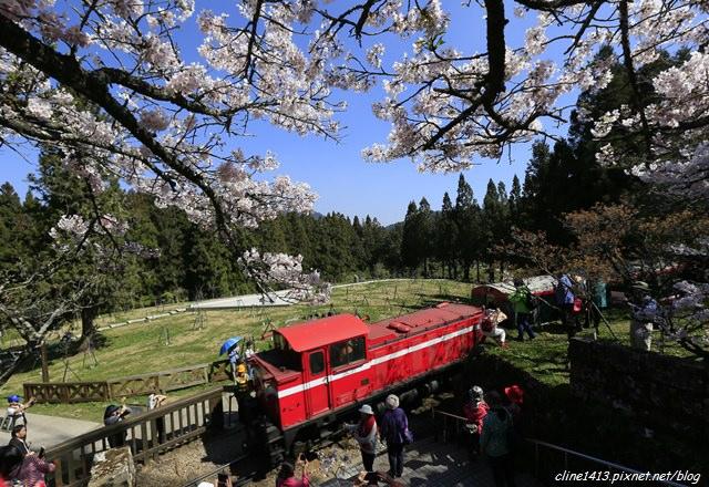 ▌2015 阿里山櫻花季▌漫步在雲端。觀日出賞櫻花♥阿里山櫻花盛開♥賞櫻景點分享(3/20花況)