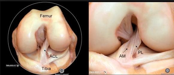 anatomia Ligamento Cruzado Anterior