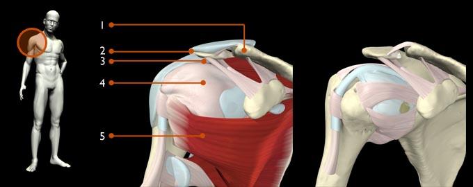 Anatomia hombro Bernaldez