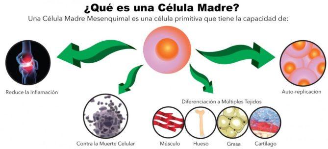 CELULAS MADRE diferenciacion