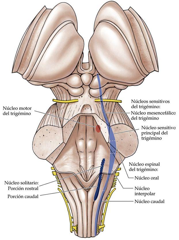 Relación entre los nervios craneales, el Trigémino y las enfermedades sistémicas