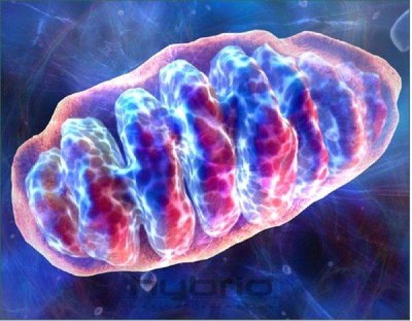 """Un estudio muestra que no sólo estas mitocondrias """"sienten"""" un cambio en los niveles de glucosa circulante, sino que los cambios adaptativos en estas mismas mitocondrias están en el núcleo de la capacidad del cuerpo para regular el azúcar."""
