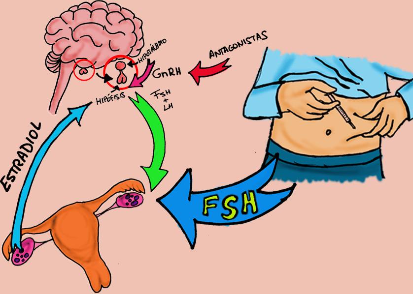 eje hipotálamo hipofisis ovario
