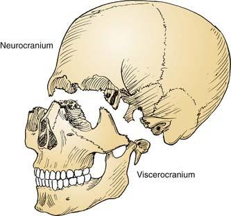 """""""Viscerocranium"""" ile ilgili görsel sonucu"""