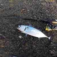 TONNETTI da riva ALLETTERATI a spinning pesca dalla spiaggia