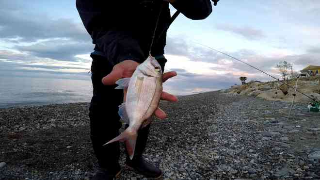 pagro catturato con bigattini a feeder fishing
