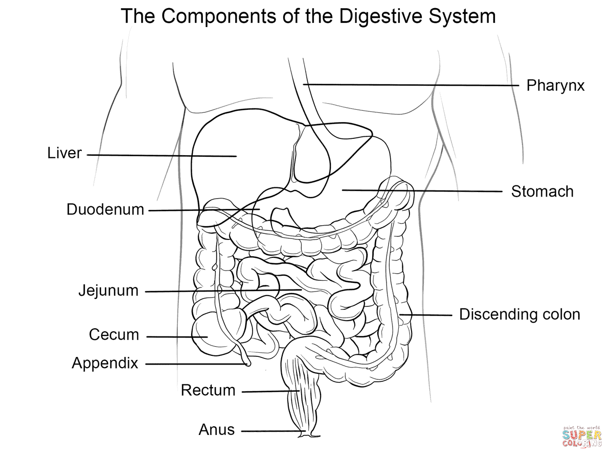Free Coloring Pages Of Digestive System Download Free