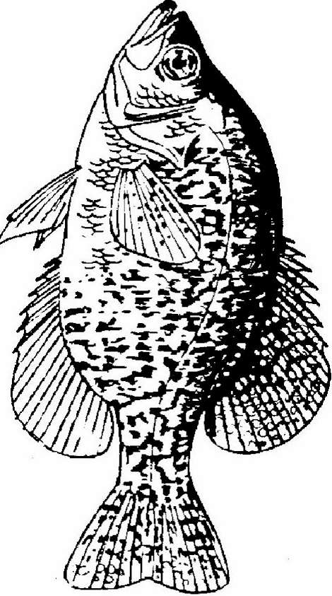 9 Best Photos Of Crappie Coloring Page