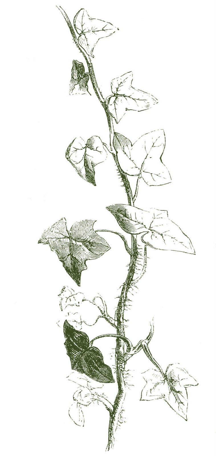 Vine Border Clip Art Leaves