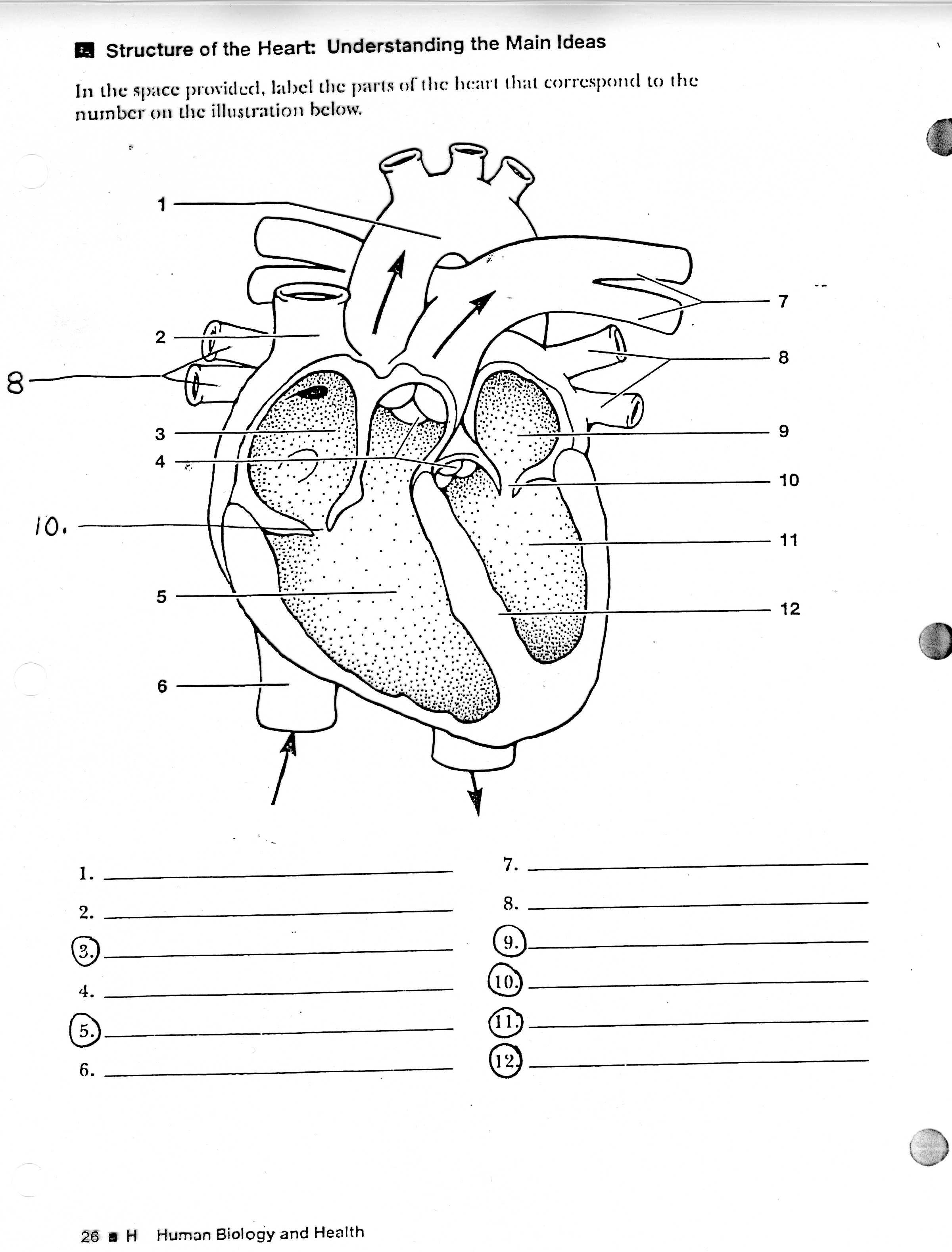 Unlabeled Heart Diagram Worksheet