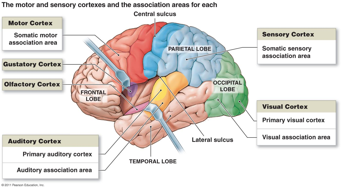 Brain And The Cranial Nerves