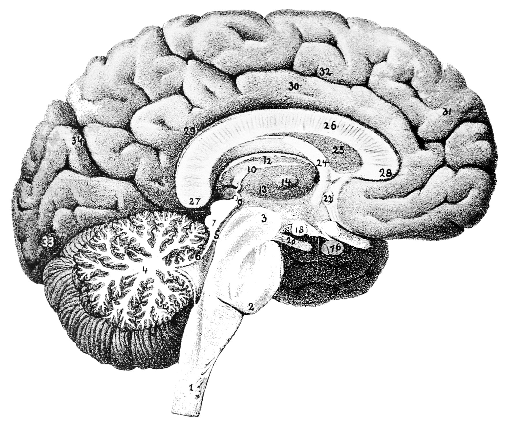 Free Human Brain Download Free Clip Art Free Clip Art On